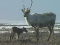 Caribou Calving